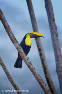 1976 Chestnut-mandibled Toucan (Ramphasto swainaonii)
