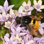 1982 Orchid Bee (Eulaema cingulata)