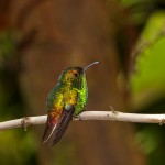 1983 Coppery-headed Emerald Hummingbird (Elvira cupreiceps)