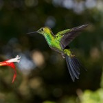 1985 Garden Emerald Hummingbird (Chlorostilbon assimilis)