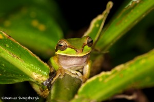 1993 White-lipped Tree Frog (Litoria infrafrenata)