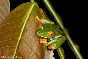 1994 Red-eyed Green Tree Frog (Agalychnis callidryas)