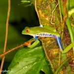 1995 Red-eyed Green Tree Frog (Agalychnis callidryas)