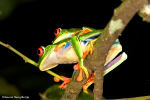 1996 Red-eyed Green Tree Frog (Agalychnis callidryas)