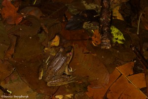 1998 Bolivian White-lipped Frog (Leptodactylus bolivianus)