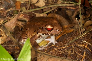 2002 Bolivian Toad-Frog (Leptodactylus bolivianus)