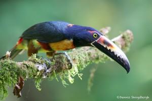 2004 Collared Aracari (Pteroglossus torquatu)
