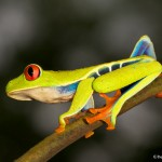 2004 Red-eyed Green Tree Frog (Agalychnis callidryas)