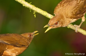 2008 Squabbling Clay-colored Thrushes (Turdus grayi)