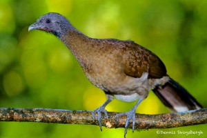 2012 Gray-headed Chachalaca (Ortaus cinereiceps)