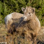 2013 Juvenile Big Horn Sheep, Jasper National Park, Alberta, Canada