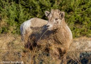 2013 Juvenile Big Horn Sheep, Jasper National Park, Alberta, Canada