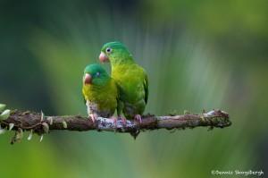 2023 Orange-chinned Parakeets (Brotogeris jugularis)