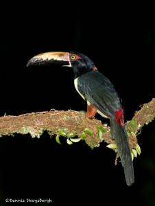 2027 Collared Aracari (Pteroglossus torquatu)