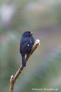 2036 White-shouldered Tanager (Tachyphonos luctusus)
