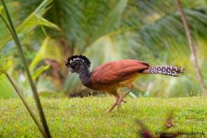 2038 Female Great Curassow (Crax rubra), Laguna Del Lagarto, Costa Rica
