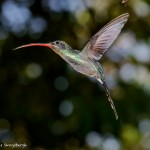 2049 Green Hermit Hummingbird (Phaethomis guy)
