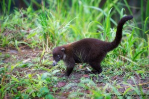 2050 White-nosed Coati (Nasua narica)