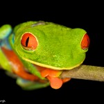 2051 Red-eyed Green Tree Frog (Agalychnis callidryas)