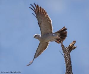 2075 Mississippi Kite (Ictinia mississippiensis)