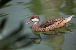 2077 White-cheeked Pintail (Anas bahamensis)