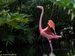 2078 Flamingo (Phoenicopterus ruber)