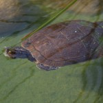 2084 Hispaniolan Slider (Trachemys decorata)