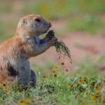 2089 Black-tailed Prairie Dog (Cynoms ludovicianus)