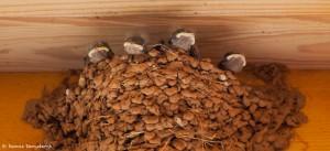 2092 Barn Swallow Chicks