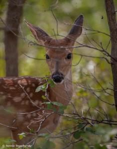 2096 White Tail Deer