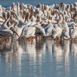 2100 American White Pelicans