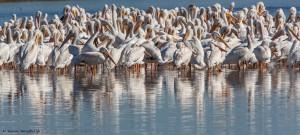 2100 American White Pelicans
