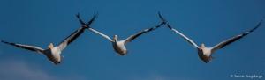 2101 American White Pelicans