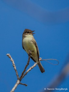 2104 Brown-crested Flycatcher (Myiarchus tyrannulus)