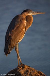 2106 Great Blue Heron, Strong Morning Sun