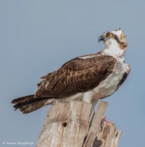 2111 Osprey (Pandion haliaetus)