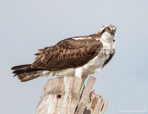 2112 Osprey (Pandion haliaetus)