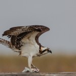 2113 Osprey (Pandion haliaetus), McFaddin National Wildlife Refuge, TX