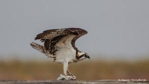2113 Osprey (Pandion haliaetus), McFaddin National Wildlife Refuge, TX