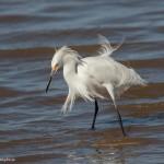 2114 Snowy Egret (Egretta thula)