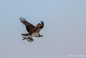 2115 Osprey (Pandion haliaetus)