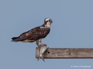 2117 Osprey (Pandion haliaetus)