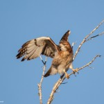 2119 Red-tailed Hawk