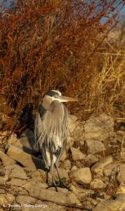 2120 Great Blue Heron
