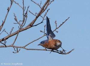 2121 Eastern Bluebird (Sialia sialis)