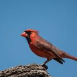 2124 Male Northern Cardinal (Cardinalis cardinalis)