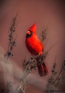 2147 Male Cardinal
