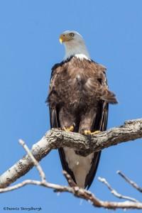 2151 Bald Eagle