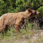 2152 Cinnamon-colored American Black Bear