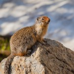 2168 Columbian Ground Squirrel (Spermophilus columbianus)